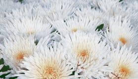 Flores apacibles blancas Fotografía de archivo libre de regalías