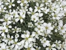 Flores, apenas pequeñas flores blancas, pero tan bastante foto de archivo