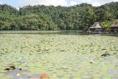 Flores aquáticas no isla de Las Flores no rio Dulce perto de Livin Imagem de Stock