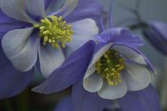 Flores aquilégias Fotografia de Stock Royalty Free