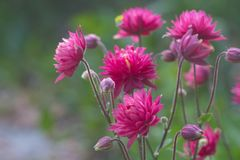 Flores aquilégias do ` de Clementine Red do ` fotografia de stock royalty free