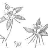 Flores aquilégias dobro Cole??o de flores e de plantas tiradas m?o botany jogo Flores do vintage Rebecca 36 ilustração royalty free