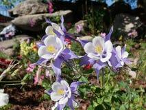 Flores aquilégias roxas que enfrentam o sol imagem de stock