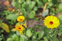 Flores, arvensis do Calendula do cravo-de-defunto no parque dendrological de Macea Fotografia de Stock