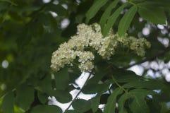 Flores ashberry blancas contra la perspectiva de las hojas Fotografía de archivo libre de regalías