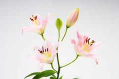 Flores asiáticas del lirio. Fotografía de archivo