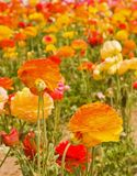 Flores asiáticas do ranúnculo Fotografia de Stock
