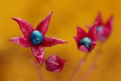 Flores asteroides Imágenes de archivo libres de regalías