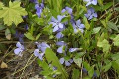 Flores atapetadas constantes da mola, pervinca com as flores azuis delicadas e fundo bonito das folhas, o verde e o floral dentro foto de stock royalty free