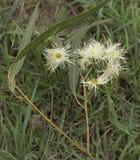 Flores australianas blancas de la goma Imágenes de archivo libres de regalías