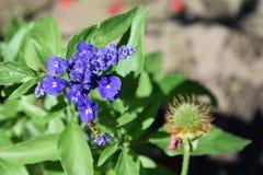 Flores azuis Imagens de Stock