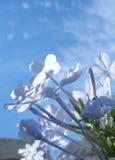 Flores azuis Fotografia de Stock