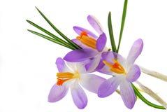Flores azuis Foto de Stock Royalty Free