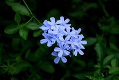 Flores azuis Fotos de Stock Royalty Free