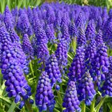 Flores azuis bonitas Fotos de Stock Royalty Free