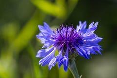 Flores azuis bonitas do inverno na natureza Fotos de Stock Royalty Free