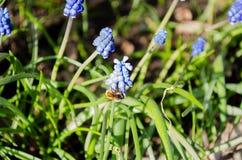 Flores azuis bonitas do muscari Flores azuis Grama verde perennial Planta da erva Planta da mola fotos de stock
