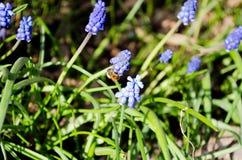 Flores azuis bonitas do muscari Flores azuis Grama verde perennial Planta da erva Planta da mola fotografia de stock