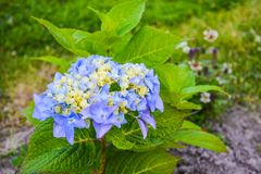 Flores azuis bonitas no jardim em um fundo verde fotografia de stock