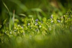 Flores azuis bonitas, pequenas que florescem na grama na mola fotografia de stock royalty free