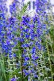 Flores azuis brilhantes do campo e campo verde Imagens de Stock Royalty Free