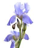 Flores azuis da íris Fotos de Stock