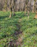Flores azuis da glória---neve Fotos de Stock Royalty Free