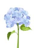 Flores azuis da hortênsia Ilustração do vetor Imagens de Stock Royalty Free