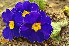Flores azuis da mola Fotografia de Stock Royalty Free