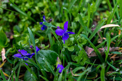 Flores azuis da mola foto de stock royalty free