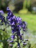 Flores azuis da mola no jardim imagem de stock royalty free