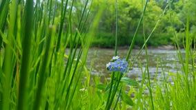 5 flores azuis da pétala com o rio de fluxo no fundo Foco do primeiro plano na flor azul do Riverbank bonito cercada pela grama vídeos de arquivo