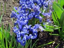 Flores azuis de florescência Foto de Stock