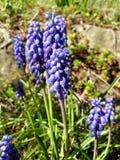Flores azuis de florescência no tempo de mola Imagens de Stock