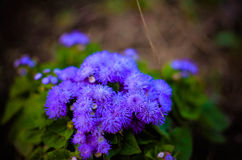 Flores azuis de Floss ou Bluemink, Blueweed, pé do bichano, pincel mexicano em Innsbruck Imagens de Stock