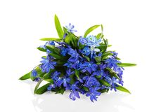 Flores azuis de Scilla isoladas no branco Imagens de Stock