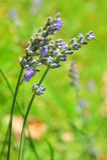 Flores azuis decorativas delicadas da alfazema Foto de Stock Royalty Free
