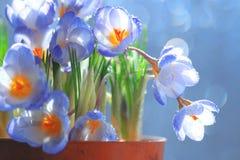 Flores azuis do açafrão em um potenciômetro Imagens de Stock