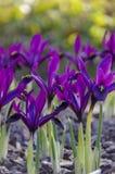 Flores azuis do açafrão na primavera Imagens de Stock