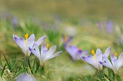 Flores azuis do açafrão que florescem no prado da mola Imagem de Stock Royalty Free