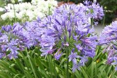 Flores azuis do Agapanthus no jardim imagens de stock