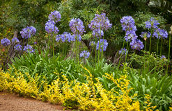Flores azuis do lírio africano (Agapanthus Africanus) Fotos de Stock