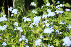 Flores azuis do miosótis Imagens de Stock Royalty Free