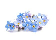 flores azuis do miosótis isoladas Imagens de Stock Royalty Free