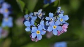 Flores azuis do miosótis no jardim filme