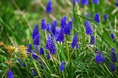 Flores azuis do muscari Fotos de Stock