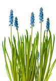 Flores azuis do muscari, isoladas foto de stock