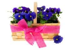 Flores azuis do Pansy Imagens de Stock Royalty Free