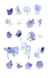 Flores azuis do Pansy imagens de stock