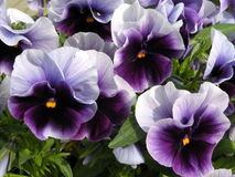 Flores azuis do Pansy Fotografia de Stock Royalty Free